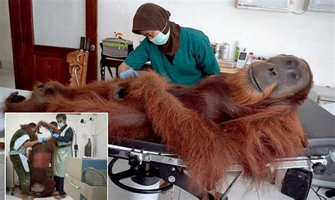 Drowsy orangtutang shot by poachers has his wounds tended