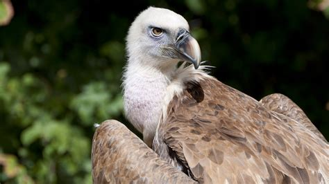 Vulture conservation in India and Nepal | Zoological